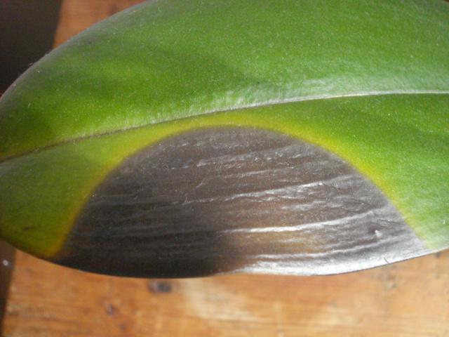 orchid es sous clairage led led horticoles. Black Bedroom Furniture Sets. Home Design Ideas