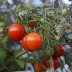 tomate_cerise_photo