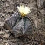 Astrophytum myriostigma_photo