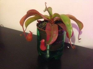 Viparled_20160201_Nepenthes
