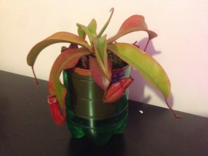 Viparled_20160201_Nepenthes2