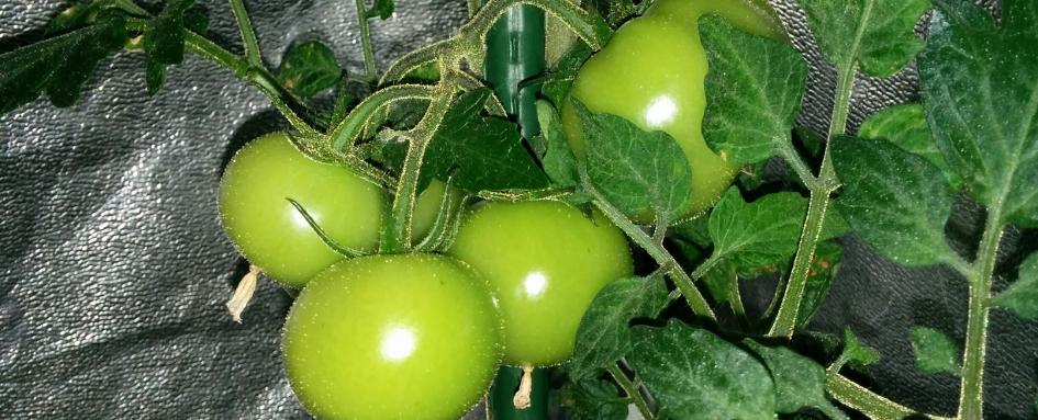 tomates_de_noel_premier_mois_a_la_une