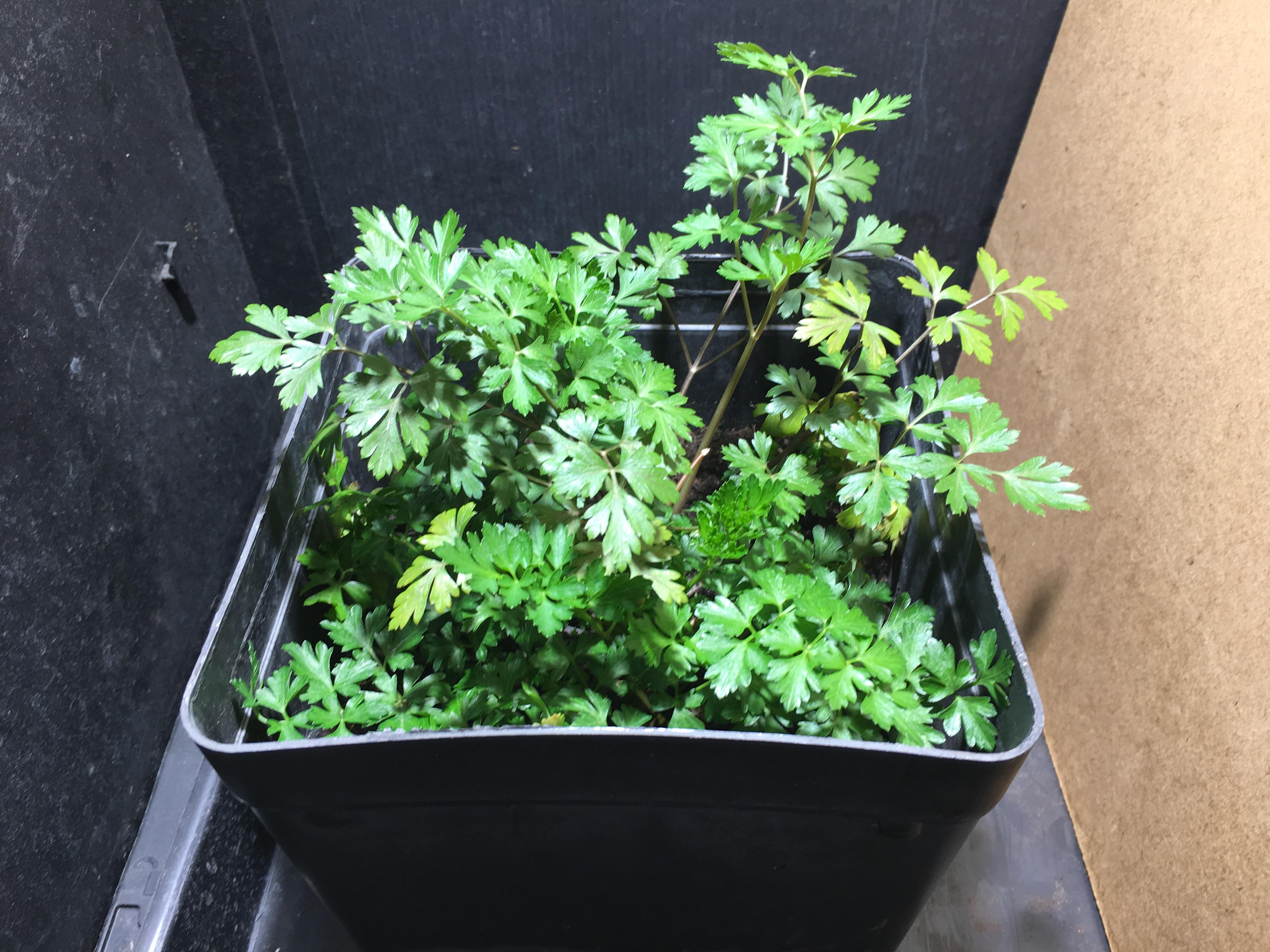 Entretenir Un Pied De Basilic les plantes aromatiques et les led version 2 - led horticoles