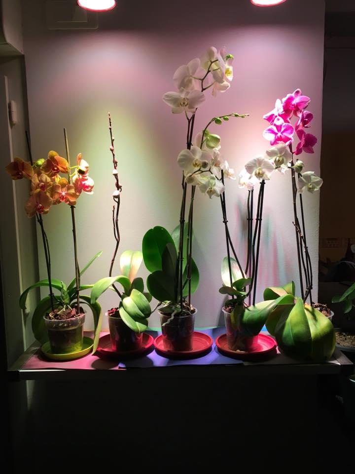 Éclairage Led Sous Orchidées Sous Horticoles Orchidées Éclairage htsQrdC